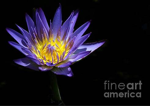 Sabrina L Ryan - Water Lily in the Spotlight