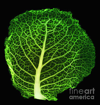 Ted Kinsman - X-ray Of Cabbage Leaf