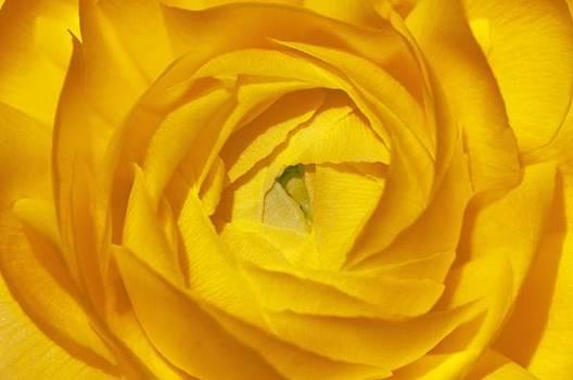 Sandra Bronstein - Yellow Beauty
