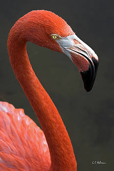 Christopher Holmes - Flamingo