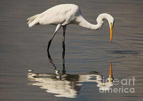 Paulette Thomas - Great White Egret Reflection