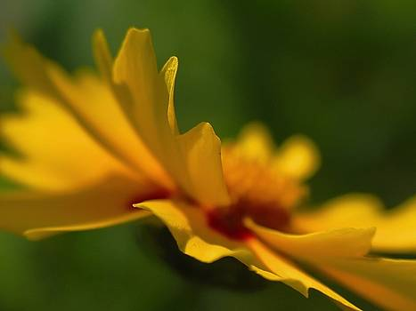 Juergen Roth - Lance-Leaved Coreopsis