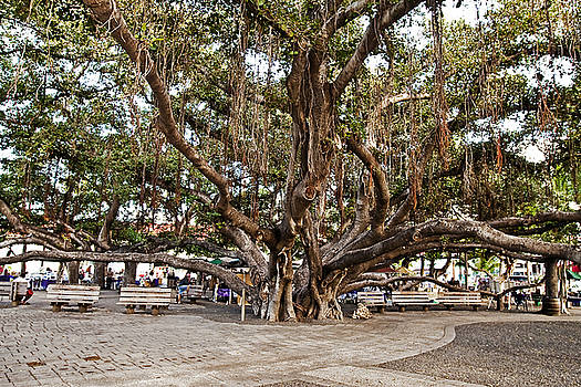 Scott Pellegrin - Banyan Tree