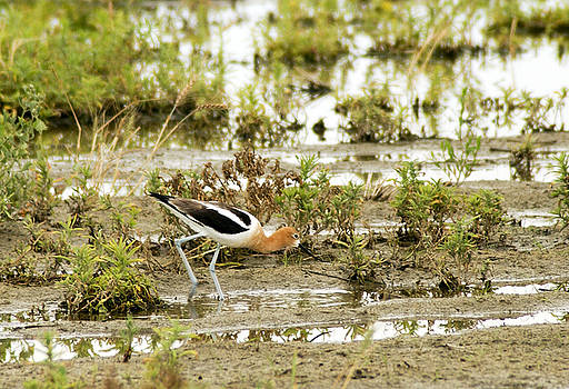 James Steele - American Avocet