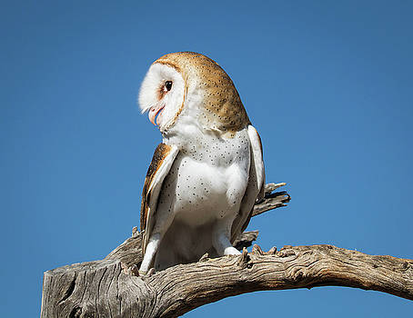 Rosemary Woods-Desert Rose Images - Barn Owl-IMG_3768-2017