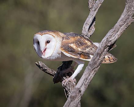 Rosemary Woods-Desert Rose Images - Barn Owl-IMG_929017