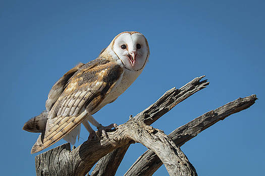 Rosemary Woods-Desert Rose Images - Barn owl-IMG_933417