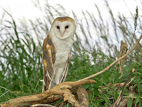 James Steele - Barn Owl