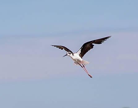 Allen Sheffield - Black Necked Stilt 2