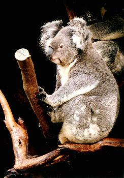 Darren Stein - Blue Mountains Koala