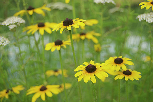 Michael Peychich - Brown Eyed Susan and Queen Ann Lace