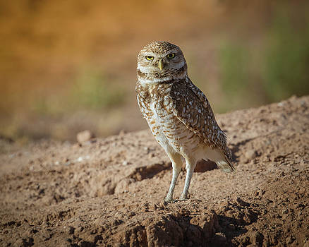 Rosemary Woods-Desert Rose Images - Burrowing Owl-IMG_178517