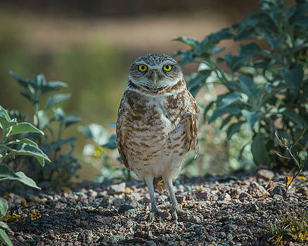 Rosemary Woods-Desert Rose Images - Burrowing owl-IMG_938017