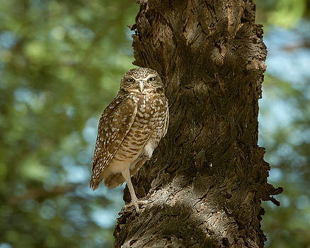 Rosemary Woods-Desert Rose Images - Burrowing Owl in a Tree