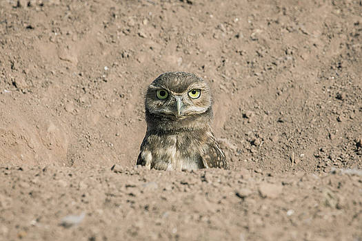 Rosemary Woods-Desert Rose Images - Burrowing owl-juvenile-IMG_340017