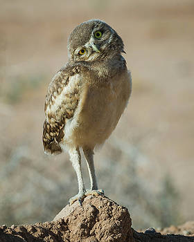 Rosemary Woods-Desert Rose Images - Burrowing Owlet-IMG_1414-2017
