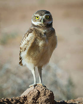 Rosemary Woods-Desert Rose Images - Burrowing Owlet-IMG_1445-2017