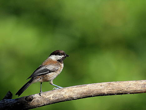 Wingsdomain Art and Photography - Chickadee . 40D8031