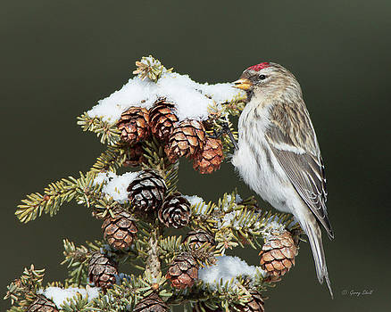 Gerry Sibell - Common Redpoll