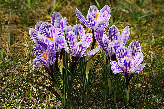 Edward Sobuta - Crocuses 3