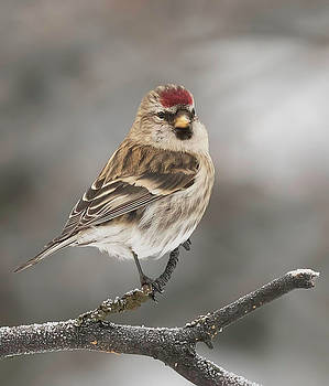 Dee Carpenter - Female Red Poll