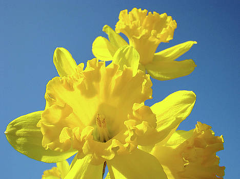 Baslee Troutman - Fine Art Daffodils Floral Spring Flowers Art Prints Canvas Baslee Troutman