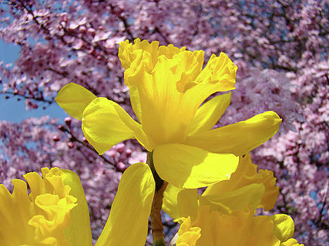 Baslee Troutman - Floral Fine Art Daffodils Art Prints Spring Flowers Sunlit Baslee Troutman