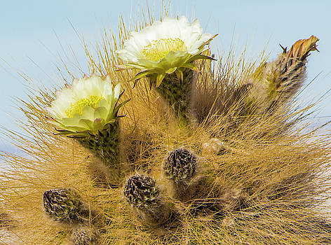 Venetia Featherstone-Witty - Flowering Cactus, Bolivia