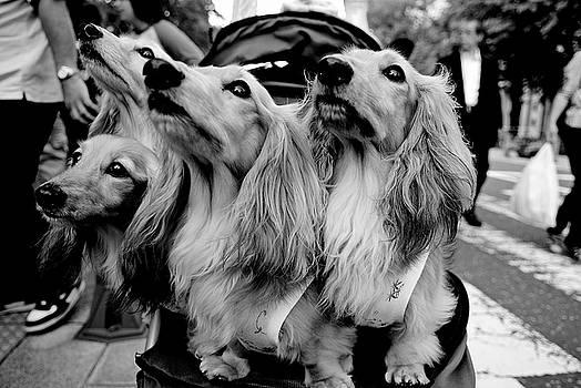 Dean Harte - Four Dogs in a Stroller