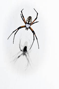 Tamyra Ayles - Garden Spider with shadow