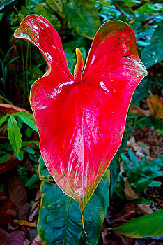Robert Meyers-Lussier - Giant Red Anthurium