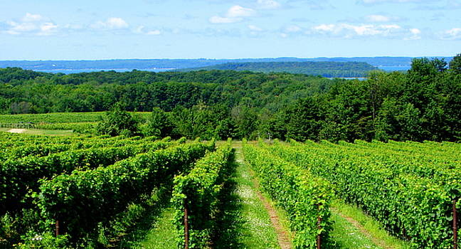 Michelle Calkins - Grapevines on Old Mission Peninsula - Traverse City Michigan
