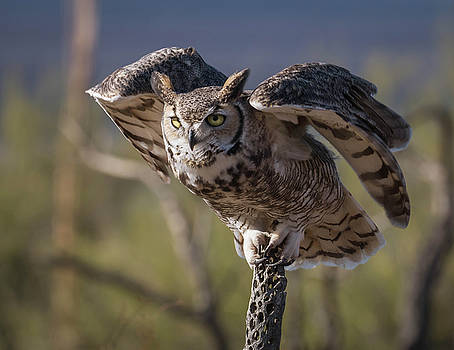 Rosemary Woods-Desert Rose Images - Great Horned Owl-IMG_339817
