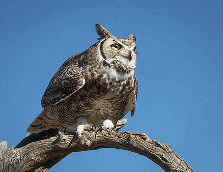 Rosemary Woods-Desert Rose Images - Great Horned Owl-IMG_4920-2017