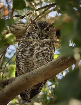 Rosemary Woods-Desert Rose Images - Great Horned Owl-IMG_673717