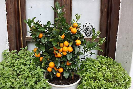 Yvonne Ayoub - Greece Window with Orange Tree