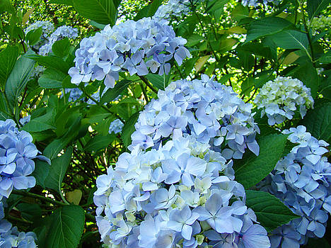 Baslee Troutman - Green Nature Landscape art prints Blue Hydrangeas Flowers