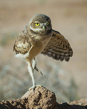 Rosemary Woods-Desert Rose Images - Juvenile Burrowing owl-IMG_140617