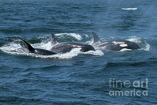 California Views Mr Pat Hathaway Archives - Killer Whales- Orcas in Monterey Bay May 11, 2017