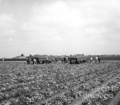 California Views Mr Pat Hathaway Archives - Lettuce Harvest, harvester and workers in fields, 1947