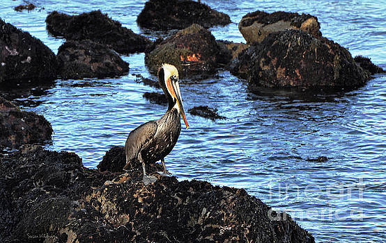 Susan Wiedmann - Lone Pelican on Rocks