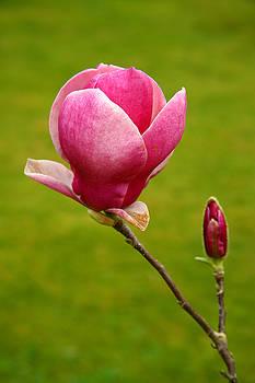 Gaspar Avila - Magnolia closeup