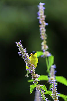 Juergen Roth - Male American Goldfinch