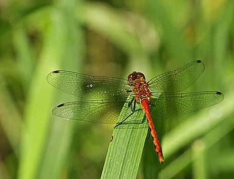 Michael Peychich - Meadowhawk Dragonfly