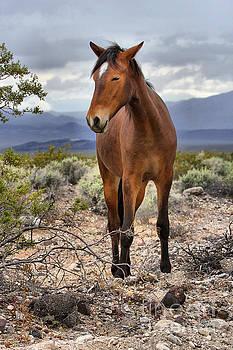 Adam Jewell - Nopah Wilderness Wild Mustang