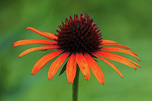 Juergen Roth - Orange Coneflower