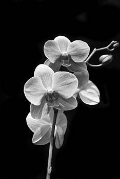 Michael Peychich - Orchids Black and White