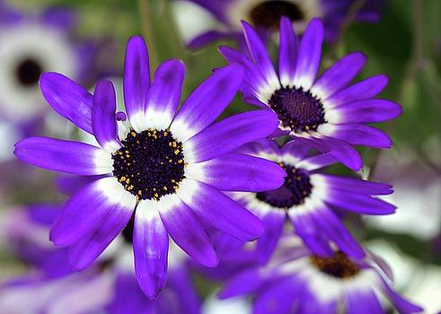 Sabrina L Ryan - Pretty Purple Daisies