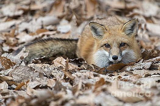 Dan Friend - Red fox in the leaves