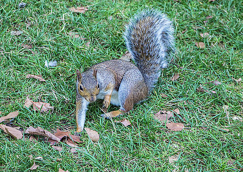 Venetia Featherstone-Witty - Red Squirrel, Regents Park, London
